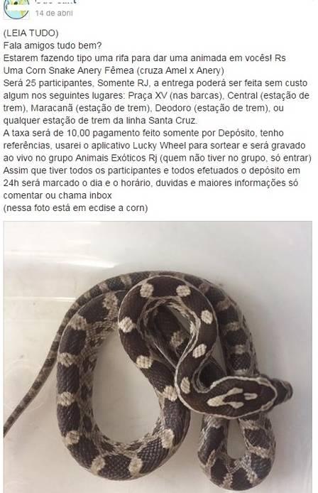 rifa-de-cobras-2